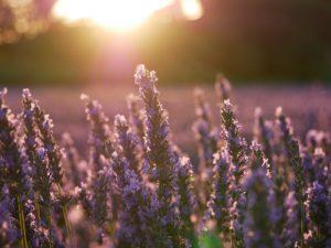 blog-lavender-1